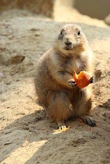Black-tailed Prairie Dog, Nature, Cute, Animal World