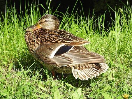 Nature, Birds, Lawn, Animals, Duck, Beak, Park, Pen