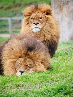 Cat, Lion, Mammal, Wildlife, Carnivore, Big Cat, Hunter