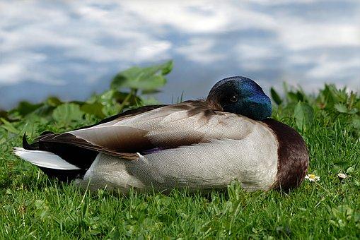 Bird, Nature, Duck, Animal World, Mallard, Drake