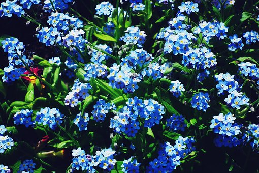 Nature, Flower, Nots, Blue, Spring, Plant, Leaf