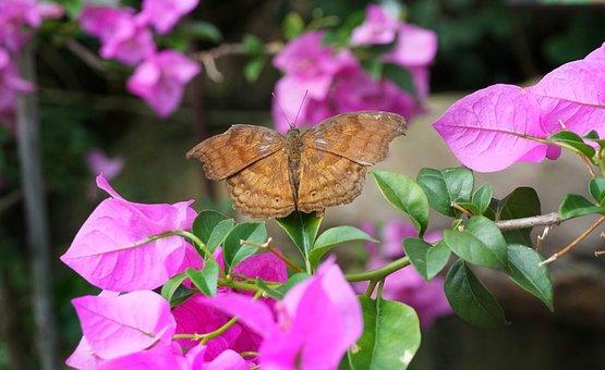 Butterfly, Brown, Pink, Bougainvillea, Flower, Flora
