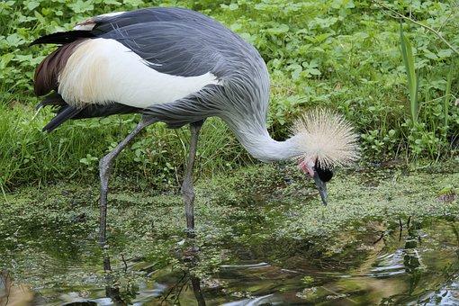Grey Neck King Crane, Crane, Bird, Animal World, Nature