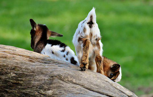 Goat, Young Animals, Playful, Romp, Cute, Small, Young