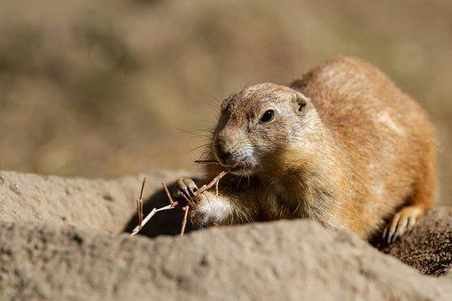 Prairie Dog, Animal World, Mammal, Animal, Cute, Nature