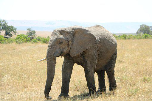 Elephant, Wildlife, Mammal, Safari, Animal