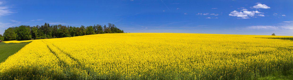 Oilseed Rape, Field Of Rapeseeds, Yellow, Flowers