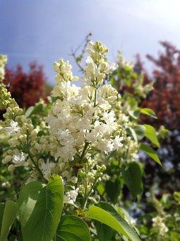 Flower, Nature, Plant, Tree, Leaf, Lilac, Blossom