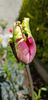 Nature, Flower, Flora, Leaf, Outdoors, Parrot Tulip