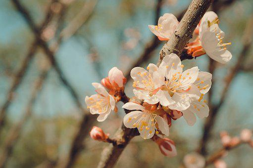 Flower, Tree, Spring, Flowering Branch, Flowering Tree