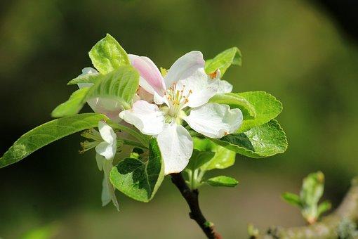 Apple Flower, Spring, Fruit Trees, Flowering Trees, Sad