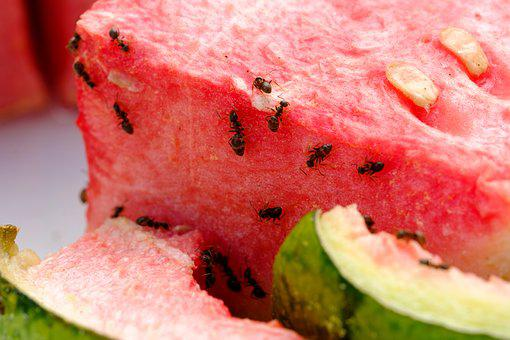Melon, Watermelon, Eat, Fruit, Pulp, Food, Sweet, Ants