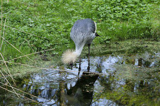 Nature, Waters, Grey Neck King Crane, Crane, Grass