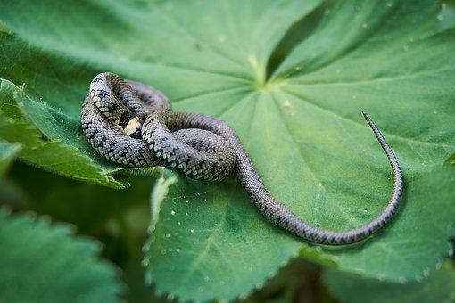 Grass Snake, Snake, Hide, Fear, Instinct, Head Game