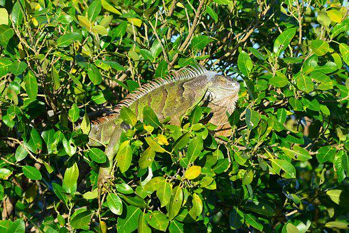 Iguana, Nature, Tree, Leaf, Flora, Outdoors, Miami