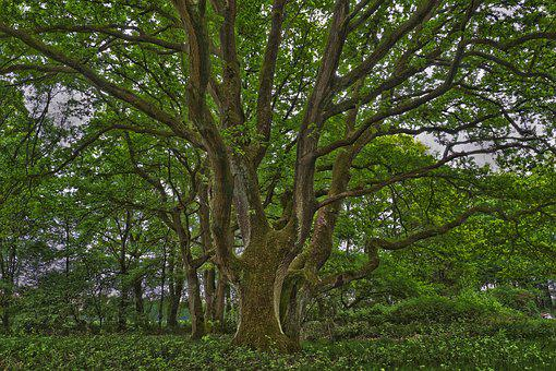 Tree, Nature, Landscape, Wood, Leaves, Plant, Forest
