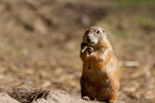 Prairie Dog, Wild, Rodent, Mammal, Nature, Forest