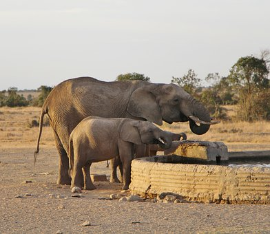 Elephant, Mammal, Wildlife, Safari, Animal