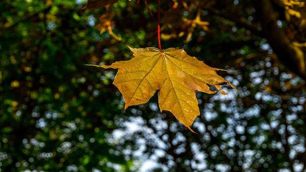 Leaf, Autumn, Nature, Maple, Season, Bright, Color