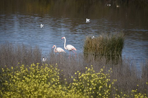Lake, Water, Reflection, Pool, Nature, Flamingo