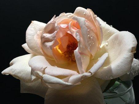 Pink Rose, Pink Flower, Rosa, Flower, Nature