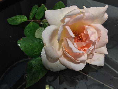 Rosa, Pink Petals, Petals, Flower, Pink, Rose Petals