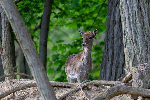 Red Deer, Doe, Forest, Wild Animal, Forest Animal