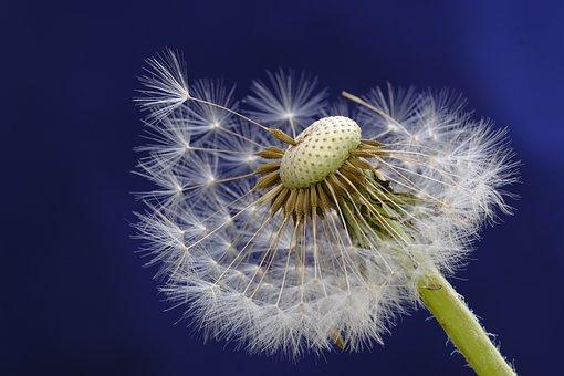 Dandelion, Blossom, Bloom, Bloom, Seeds