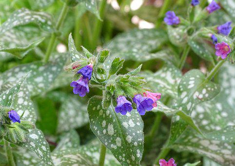 Lungwort, Spotted Lungwort, The Shade Compatible