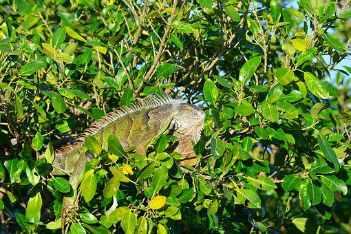 Iguana, Nature, Leaf, Tree, Flora, Outdoors, Miami