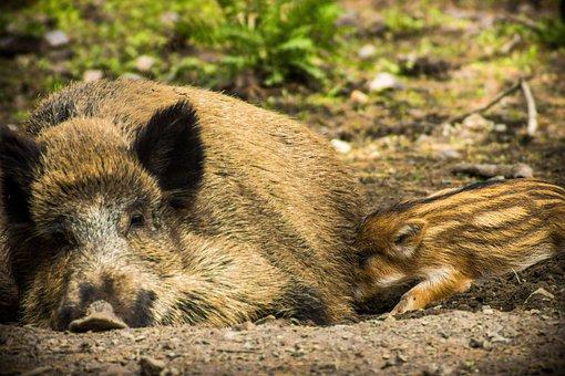Animal World, Nature, Animal, Mammal, Wild, Boar, Pig