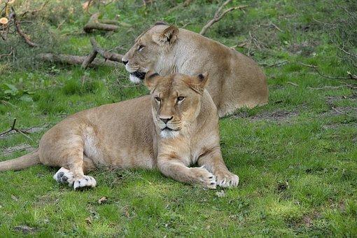 Mammal, Animal World, Cat, Carnivores, Hunter, Wildcat