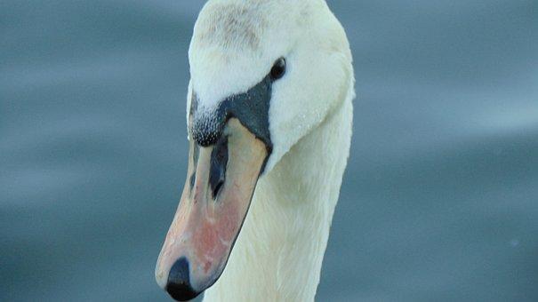 Bird, Water, Nature, Wildlife, Swan, Animal, Outdoors