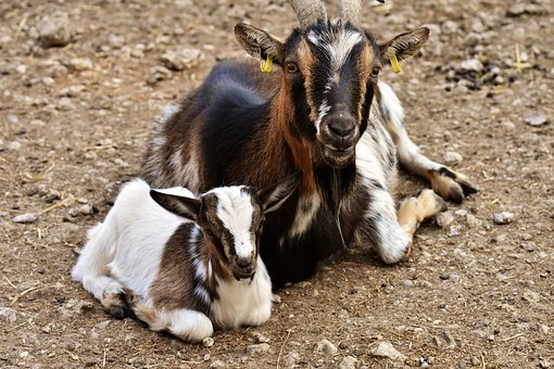 Goats, Mama, Child, Young Animal, Cute, Small, Young