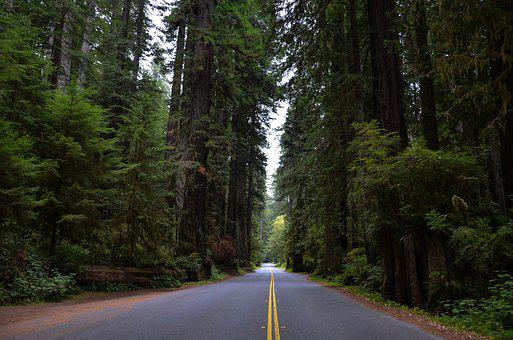 Usa, America, California, Sequoia Trees