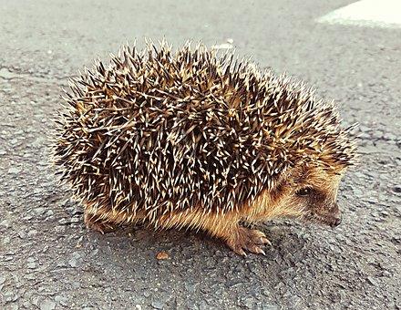 Hedgehog, Sweet, Hedgehog Baby, Autumn, Leaves, Funny