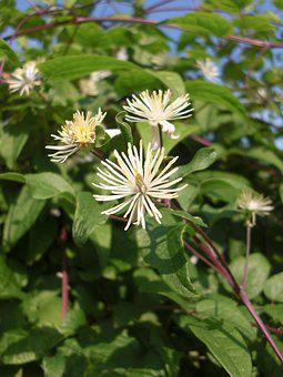 Clematis, Bach Flower Remedy, Bach, Flower, Nature