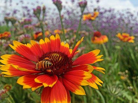 Spring, Bee, Flower, Background, Heaven, Blanket Flower