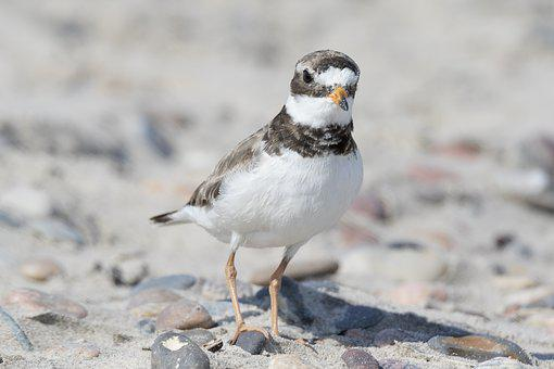 Bird, Plover, Wader, Beach, Hiaticula