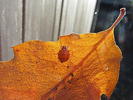 Autumn Leaf, Beetle, Ladybug, Veins, Colored Leaves