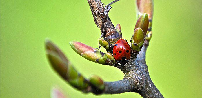 Ladybug, Branch, Insect, Red, Points, Beetle