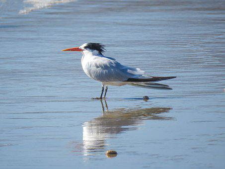 Royal Tern, Ocean, Bird, Californian Bird