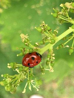 Ladybug, Insect, Brine Fly