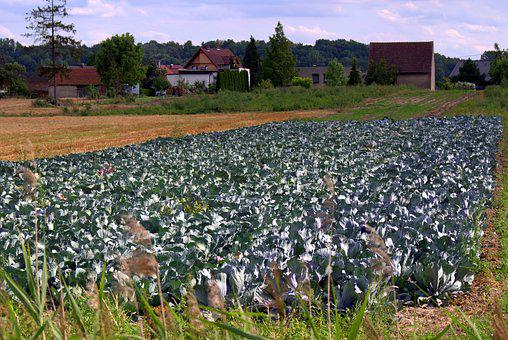 Cabbage, Cabbage Field, Agriculture, Collections