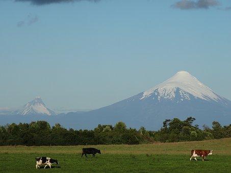 Osorno Volcano, Cow, Field, Prairie, Landscape, Toro