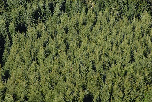 Fir, Coniferous, Pine, Alignment, Plantation, Nature