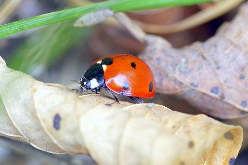 Ladybug, Insect, Red, Dots, Black, Macro, Foliage