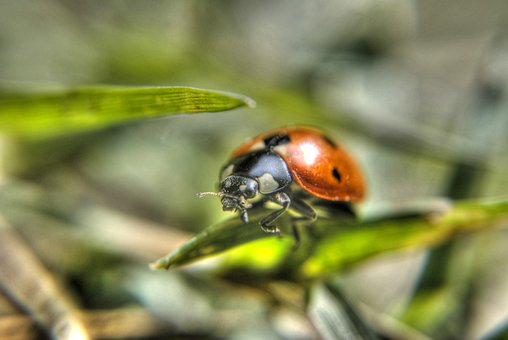 Ladybug, Insect, Grass, The Details Of The, Nature