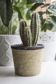 Succulent, Pikes, Pot, Plant, Sharp, Cactus, Green
