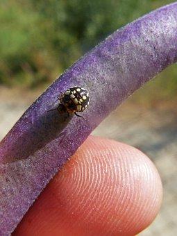 Harlequin Ladybird, Coccinellidae, Coleoptera, Bean